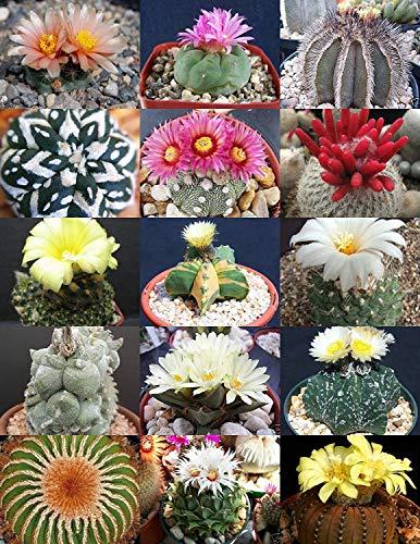 Vistaric Mélange rare Plante rare Cactus exotiques Graines succulentes du désert en fleurs 20 graines