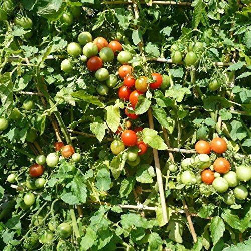 Riesentraube Tomatensamen für ca. 10 Pflanzen - riesige Rispen mit hunderten Blüten