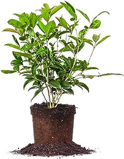 Perfect Plants Tea Olive Live Plant, 1 gallon, Includes Care Guide