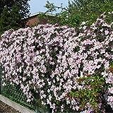 2 x Clematis Montana Rubens - Set di 2 piante rampicanti Clematis, rosa - piante rampicanti pluriennali fiorite/micrati e durature invernali - 2 vasi da 1,5 litri