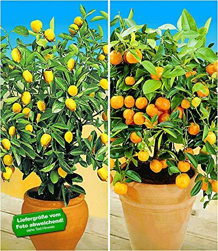 BALDUR Garten Zitronen- & Orangenbaum,2 Pflanzen Citrus Calamondin Citrus Limon Zimmerpflanzen
