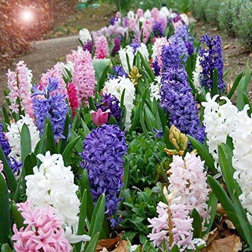 Semillas de Jacinto de Color Mixto, 100 Piezas de Semillas de Hyacinthus Orientalis, Semillas de Flores de Plantas Ornamentales Perennes para DecoracióN de Jardines, Balcones y Patios