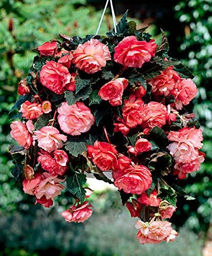 Keland Garten - 50pcs Duftende Hängebegonie 'Splendide Apricot/Pink' mit gefüllte Blüten selten Blumensamen wintergart mehrjährig, geeignet für in Hängetöpfe/Hanging Baskets/Pflanzkästen