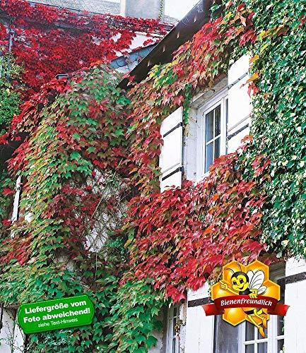 BALDUR-Garten Wilder Wein 'Veitchii', 1 Pflanze Parthenocissus winterharte Kletterpflanze