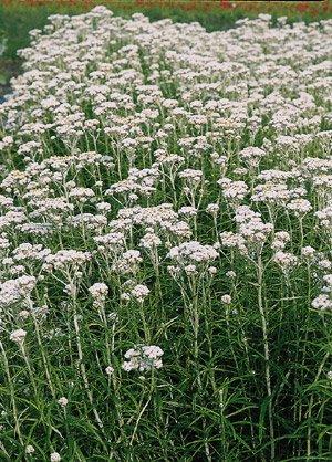 珠光香青新雪2500个种子