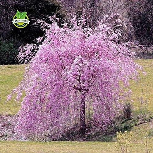 20 arbres de cerisier pleureur fontaine rose Graines bricolage jardin Graines d'arbres nains vivaces