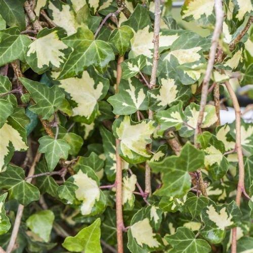 Hedera helix 'Goldheart' - Gelbbunter Efeu Kletterpflanze-150cm Topf gewachsen (40-60cm)