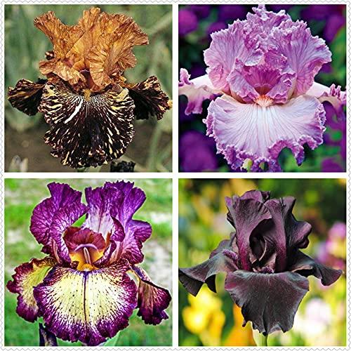 Schwertlilie Pflanze,Bearded Irises,Iris...