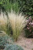 Stipa tenuissima, Pony Tails' 20 Seeds Mexican Feather Grass