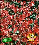BALDUR Garten Wilder Wein 'Quinquefolia', 1 Pflanze schnellwachsende Kletterpflanze winterhart -