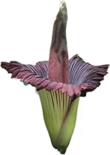 Best corpse flower bulb Reviews