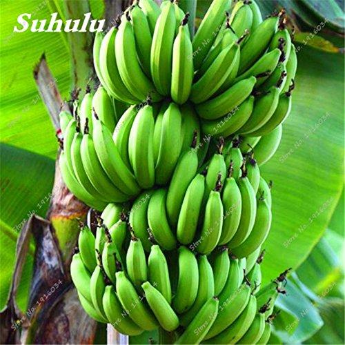 Vente! 50 pcs/sac banane Bonsai Graines, Graines naines arbres fruitiers, facile à cultiver Delicious Seeds fruits bio La plantation Balcon & Jardin