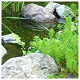 Parrot's Feather (Myriophyllum Aquaticum) 1-Live Root Cutting Hardy Pond Plant