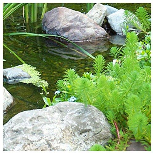 Parrot's Feather (Myriophyllum Aquaticum) 1-Live Root Cutting Hardy Pond Plant
