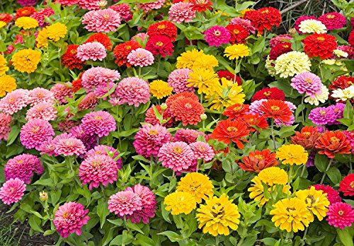 Zinnia Speciality Roll Out Flowers - Concentrated Flower Planting Gardener Indoor Outdoor Kit - by Garden Innovations