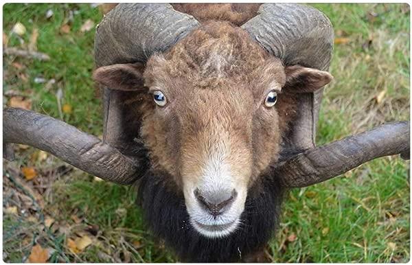 Tree26 Indoor Floor Rug Mat 23 6 X 15 7 Inch Sheep Horns Animal Nature Ram 1