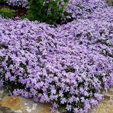 Qulista Samenhaus - 10/20pcs Rarität Teppich Flammenblume Emerald Cushion Blue Polsterphlox, Bodendecker als Rasenersatz Blumensamen winterhart mehrjährig