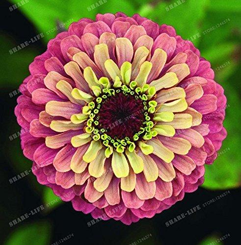 100PCS Zinnia Graines rares Variété chaleur Tolerant Jardin Fleur Plantes à fleurs en pot Charme chinoise Fleurs Graines culture facile 18