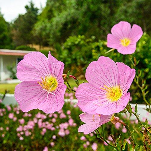 Rosa Nachtkerze 100 Samen - Oenothera...