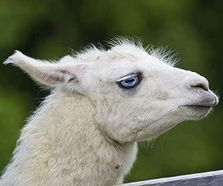 20x26 Inch Rhinestone Cross-stitch Animal Lamb DIY Diamond Painting Kits Arts, Crafts & Sewing 5D Diamond Painting