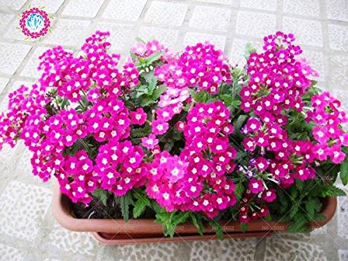 graines 100pcs Verveine seeds.Verbena HORTENSIS, graines de bonsaï rares fleurs Hanging plantes balcon intérieur fleurs pour le jardin à la maison 11