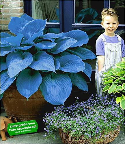 BALDUR Garten Funkien Riesen Hosta blau...