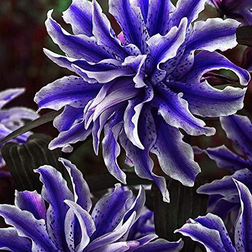 Kalash Neue 200 PC Taglilie Flowersseeds...