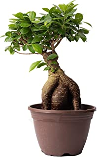 AMERICAN PLANT EXCHANGE Ficus Ginseng 8 Year Old Grafted Bonsai Live Plant, 8