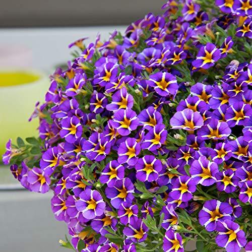 Qulista Samenhaus - Rarität 30pcs Gesterntes Zauberglöckchen Rave, violett Bienennährpflanze Balkonpflanzen Sommerblumen Blumensamen winterhart mehrjärhig für Ampeln, Kästen und Kübel
