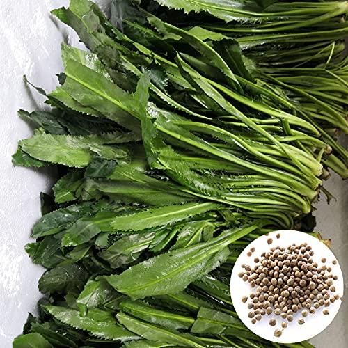 Semillas de Flores-100Pcs / Bag Semillas de cilantro Semillas de cilantro de vitalidad fuerte y sabrosas de alto rendimiento viables para el hogar - Semillas de cilantro