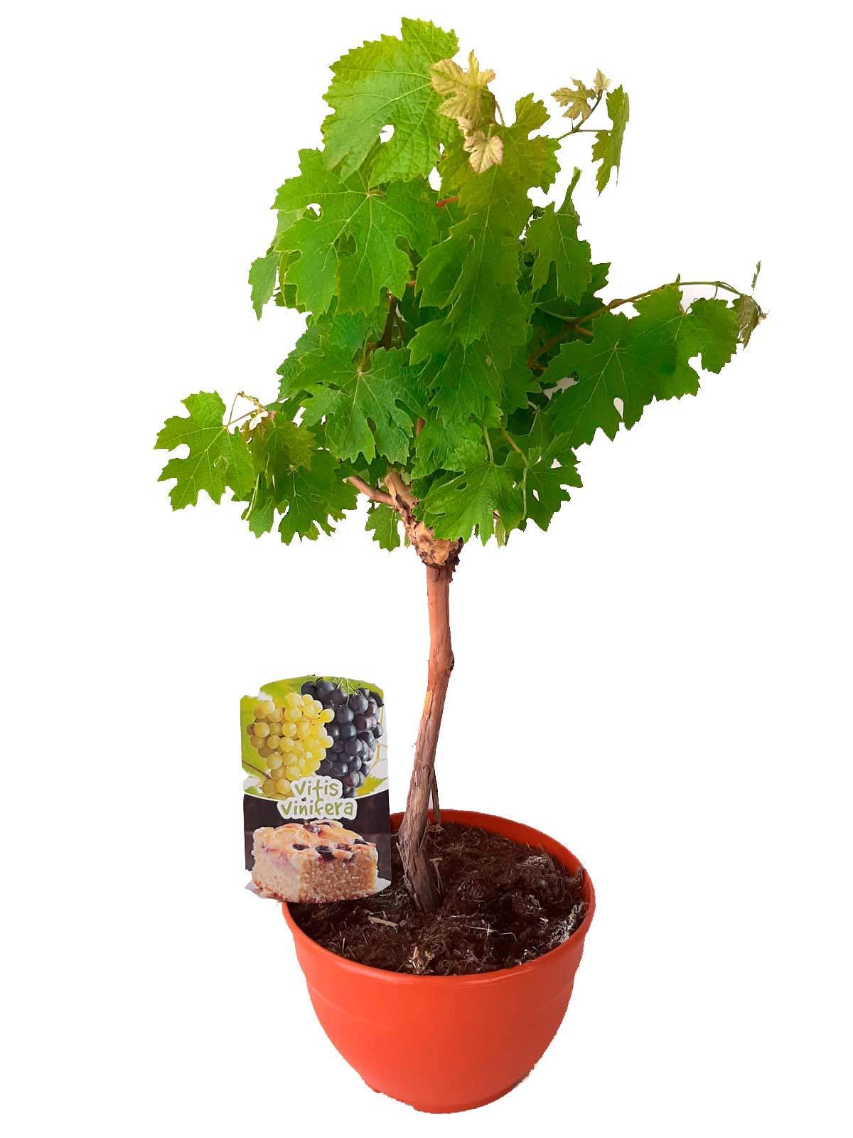 Vid/Parra (Vitis Vinifera) Árbol frutal. Perfecto para huerto ...