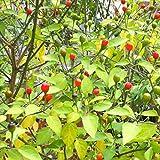 Wayland Chiles Bird Chile Seeds (Chiltepin)
