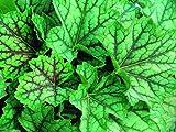 Heuchera - Purpurglöckchen 'Green Spice' - in Gärtnerqualität von Blumen Eber