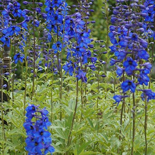 Blumixx Stauden Delphinium Elatum-Hybr. 'Grünberg' - Hoher Garten-Rittersporn im 1,0 Liter Topf blauviolett blühend
