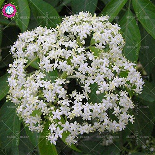 20 pcs/sac réel sureau graines graines de plantes potagères herbes médicinales vivaces en pot Maison et jardin 95% bonsai taux de germination 2