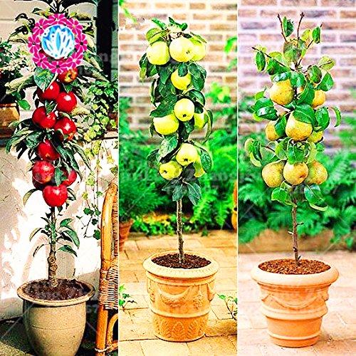 30pcs super graines de bonsaïs Sweet Seeds enfant Vtamin non transgénique santé Cour Livraison gratuite en plein air