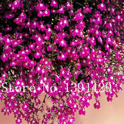 100pcs graines lobelia, plantes à fleurs d'intérieur bonsaï jardin, (bleu, violet. Blanc. Rose) Diaopen décoration jardin fleuri