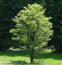 alder tree seeds