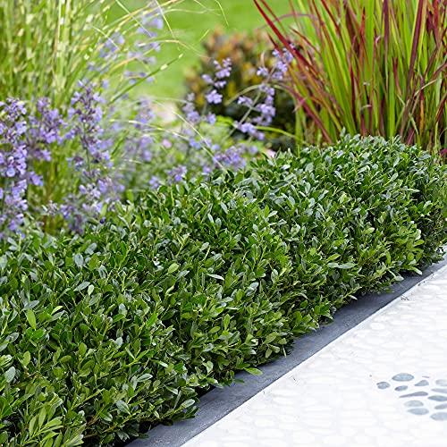 3x Ilex crenata Luxury Globe | Set di agrifoglio giapponese | Arbusti ornamentali | Altezza 8-15 cm | Vaso Ø 11 cm