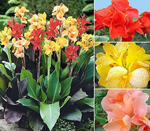 20+ Mixed Canna Lily Flower Seeds Perennial Beautiful Bonsai Plant Home Garden...