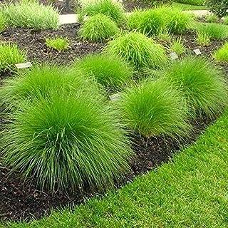Soteer Seed House - Túnica de semilla de hierba de piel de oso exótica semilla de hierba ornamental miscanthus (Miscanthus sinensis) semilla de hierba ornamental perenne resistente