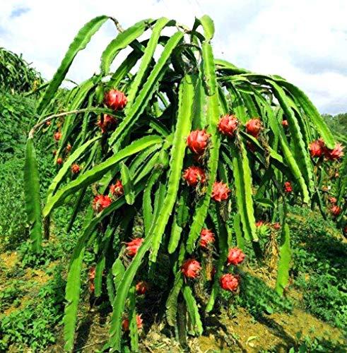 Dragon Fruit Seeds 100 PCS Non-GMO
