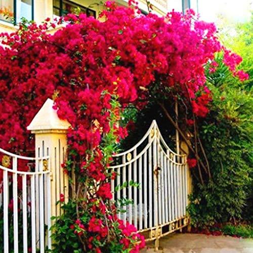 QHYDZ Garten-50pcs Semillas Arbusto Trepador Bougainvillea Glabra, Planta Ornamental Exterior para Jardin...
