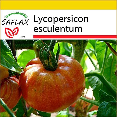 SAFLAX - Anzucht Set - Tomate - Pink Brandywine - 10 Samen - Mit Mini-Gewächshaus, Anzuchtsubstrat und 2 Töpfen - Lycopersicon esculentum