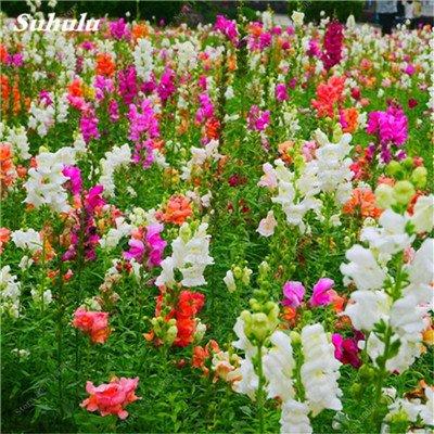 100pcs / sac muflier Majus Graines nain commun snap Graines de fleurs Jardin Accueil Bonsai Plantes en pot Planter 13