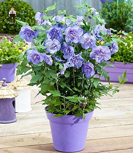 MIYU 100 Giant Hibiscus Flower Plants Hardy and Mix Color Plant Home Garden Potted Bonsai Tree Plants Plants Best Gift : Clear