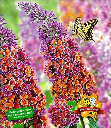 """BALDUR-Garten Buddleia Sommerflieder""""Flower Power"""" Schmetterlingsflieder Schmetterlingsstrauch Zierstrauch, 1 Pflanze Buddleja Hybride"""