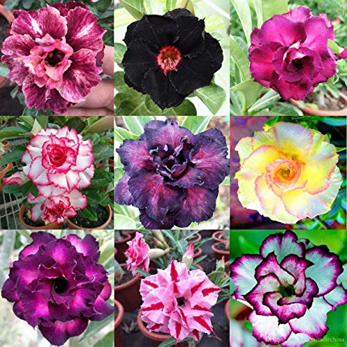 Mixed Color Desert Rose Seeds to Grow | 10 Seeds | Adenium Obesum,10 Seeds to Grow.. Exotic Bonsai Plant