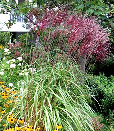 Miscanthus sinensis Red Chief - Chinaschilf - Gras winterhart mehrjährig -17 cm Topf