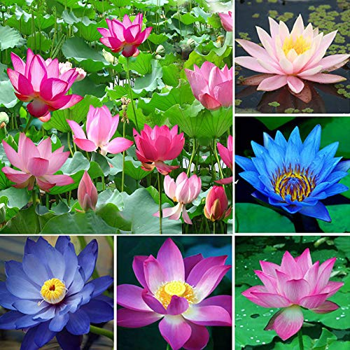 NAttnJf Semillas para plantar, 1 bolsa Lotus Seeds Mini Non GMO Mixed Bonsai Lotus Bowl para el jardín - Bowl Lotus Seeds